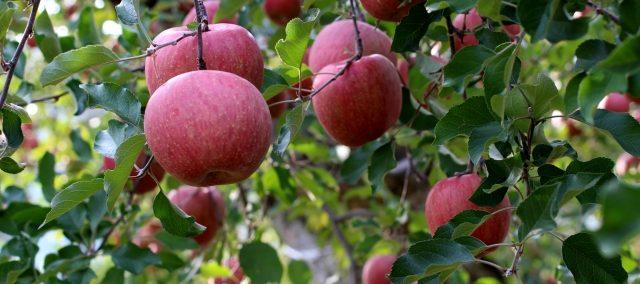 青森県 りんご